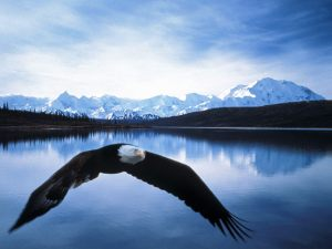 bald_eagle_in_flight_denali_national_park_alaska