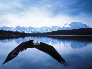 bald_eagle_in_flight_denali_national_park_alaska