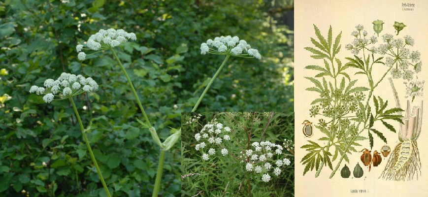 hemlock muslim 10 excruciating medical treatments from the middle ages posted on march 28, 2009 january 18, 2018 by admin  briony, opium, henbane, hemlock juice and vinegar.