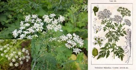 Cicuta maculata1