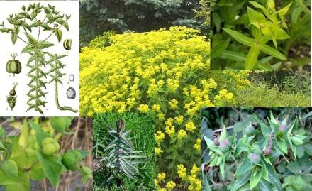 Euphorbia lathyris1