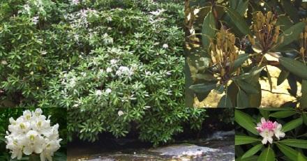 Rhododendron maximum1