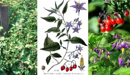 Solanum dulcamara1