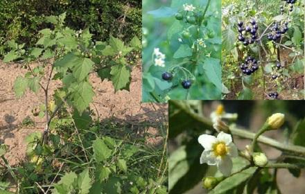 Solanum nigrum1